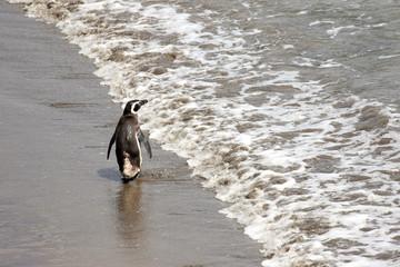 Magellanic Penguin Walking Away, Waving Goodbye. Punta Tombo reserve, Argentina