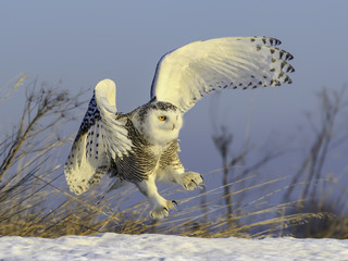 Snowy Owl Taking Off from Snow Field