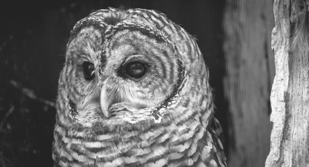 Barred Owl (Strix varia) in Black and White