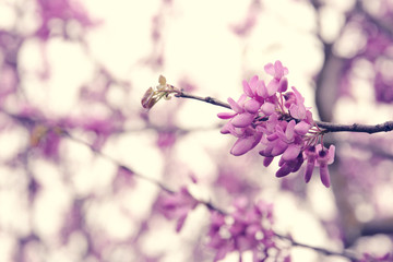 background of spring pink cherry blossoms tree. selective focus.