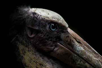 close up head of Lesser adjutant stork with black background