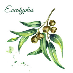 Eucalyptus branch, cosmetics and medicinal plant, with leaves and berries, isolated on white background. Watercolor hand drawn illustration