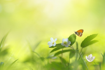 Beautiful spring floral background with copy space. Spring white forest flowers anemones in grass and orange butterfly in nature fresh morning outdoors macro.