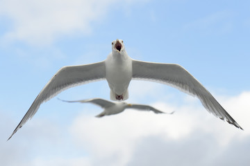 Hering gull flying against cloudy sky with one in background.