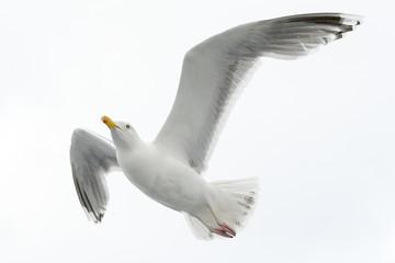 Hering gull flying against white sky.