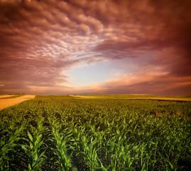 Corn Field and sky