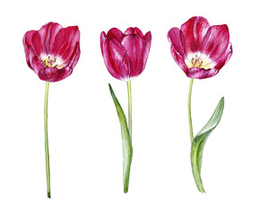 set of hand drwawn watercolor tulips