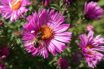 Herbstaster mit Biene