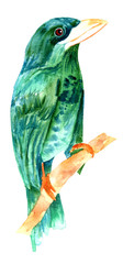 Watercolor drawing of teal and green bird, vintage style, isolated