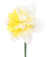 Bright spring narcissus