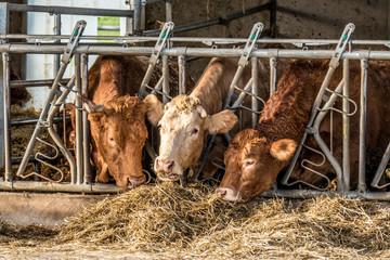 Rinder und Kühe im Stall