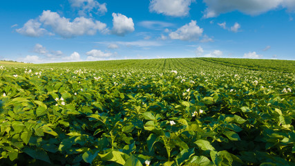 Potato field and blue sky at beautiful day. Green field of blooming potato.