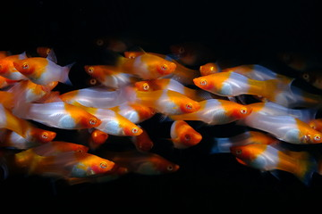 Fish in black background