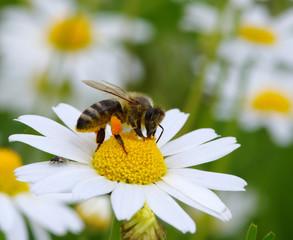 bee with her pollen basket full