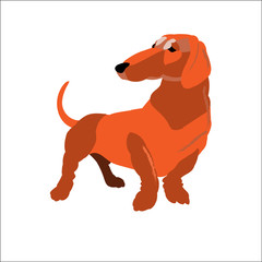 Red dachshund isolated on white background, vector illustration dog.