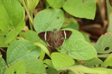 Spike Banded-Skipper butterfly (Autochton longipennis), Costa Rica.