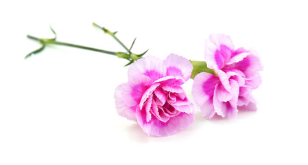 A pink carnation bouquet on white