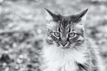 Front view of a beautiful long hired maine coon cat