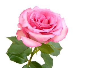 Pink rose, mother day flower