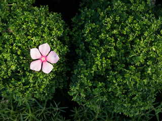 White Pink Vinca Flower Fall on The Green Leaves