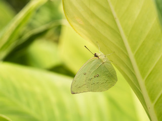 Small Butterfly Camouflage under The leaf