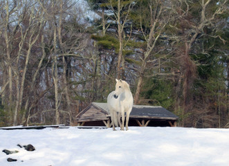 Andalusian Mare in Her Winter Pasture