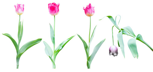 Wall Mural - tulip flower