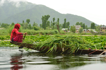 Everyday life on the Dal lake in Srinagar, Jammu and Kashmir, Woman transporting grass by the traditional boat on the lake Dal in India