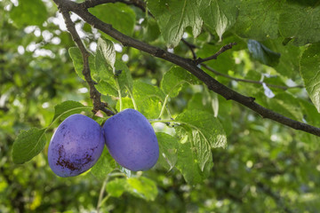 Two plums on the tree