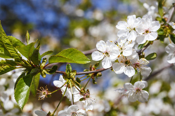 Spring flowers series: Close-up of a Cherry tree.