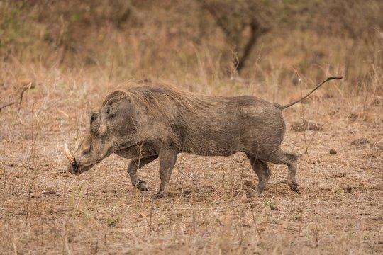 Wild boar running in safari park