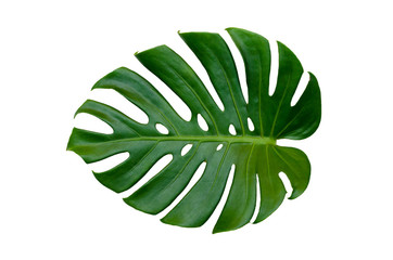 Monstera leaves leaves with Isolate on white background Leaves on white Wall mural