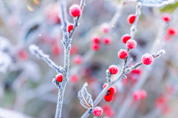 Macro closeup of red winter berries with leaves in autumn fall showing detail, texture and pattern with frost snow sunrise dawn bokeh background in West Virginia