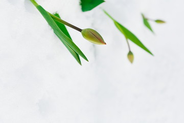 Tulip bud under the snow in the spring