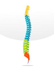 Spine bone vector detailed illustration