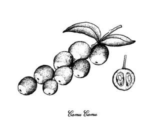 Hand Drawn of Camu Camu Fruits on White Background