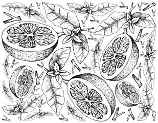 Hand Drawn of Grapefruit Fruit on White Background