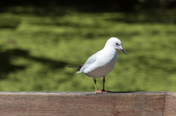 Black-billed Gull sits on a wooden rail, side lit with sun light, green grass on the back