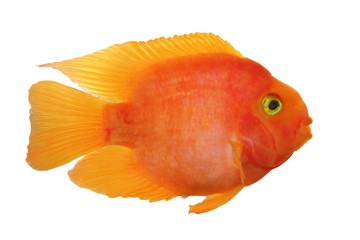 Parrot red cichlid fish