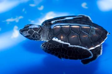 Green sea turtle baby (Chelonia mydas) swimming, Madagascar