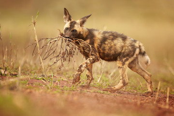 Close-up puppy of African Wild Dog, Lycaon pictus, playing with piece of root against blurred, reddish background. Wildlife photo taken from ground level in KwaZulu Natal, South Africa.