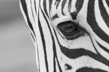 A close up shot of a zebra's eye