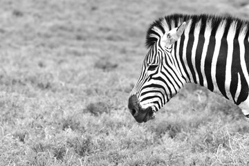 A side shot of a zebra's head (black and white image). This image can be used as an animal background image.