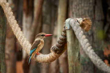 Striped kingfisher Halcyon chelicuti perching on old rope and looking for insects. Very colorful evening light. Blurred trees in background.  Wildlife photography in KwaZulu natal, South Africa.