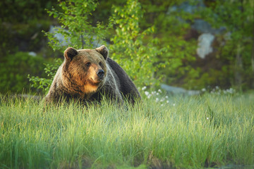 A close up, portrait of wild big male brown bear on the bank of small lagoon in green grass  watching surroundings. Taiga wilderness in background, early morning colorful light. Russian border.