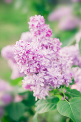Blooming lilac flowers. Nature beauty