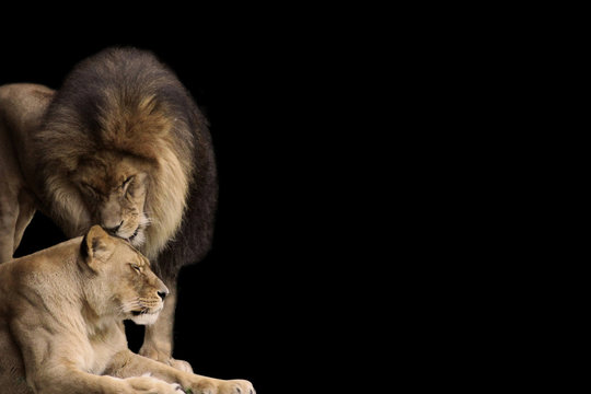 Lion and Lioness share a tender moment- Photo Isolated on a black background suitable to write a stong message on.