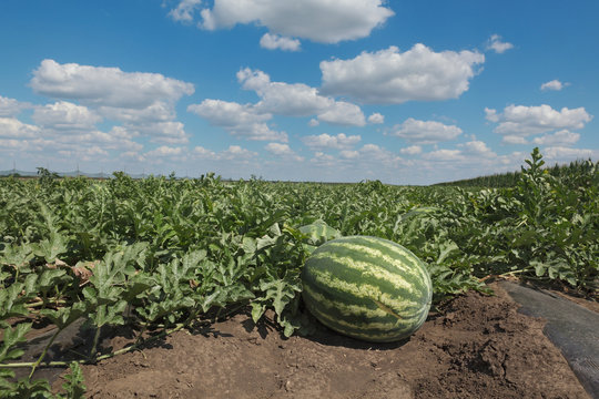 Organic watermelon fruit plant in field with beautiful sky, early summer