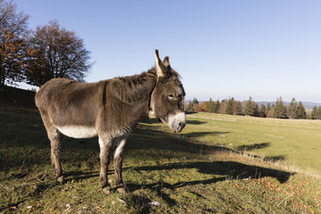 Wall Mural - A gray-brown donkey carries a small Glock and stands on a pasture in Switzerland