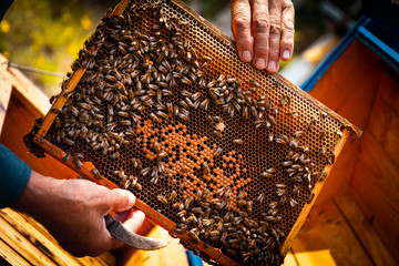 Beehive colony frame with bees. Beekeeper at work